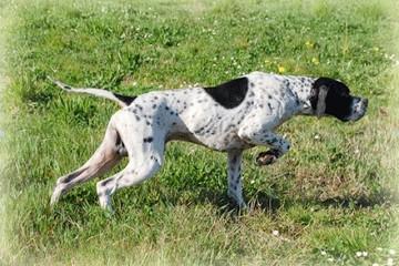 Campeonato Perros de Muestra - Iniciación sobre Codorniz